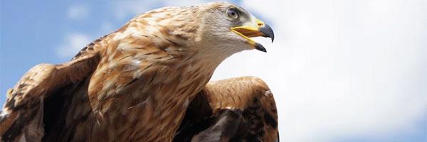 3 Fast ausgestorbene Vögel Steinadler - 3 Fast ausgestorbene Vögel
